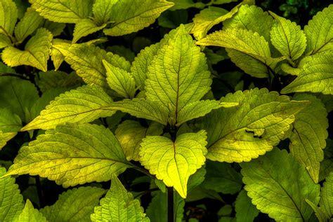 vintage green coleus plant photograph by dennis dame