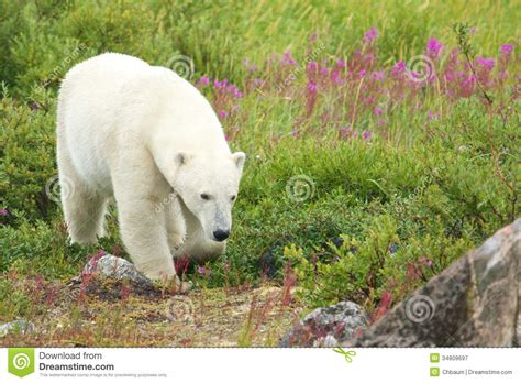 polar sniffing in the grass 2 stock image image 34809697