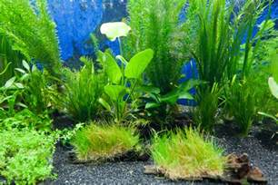 plants for tropical fish tanks aquarium plants fish n tips aquatic plants 2017