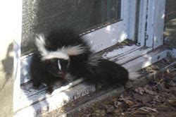skunks removed from connecticut homes and businesses