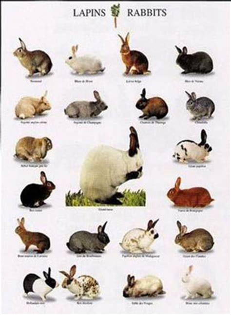 Tas Aza razas de conejos i