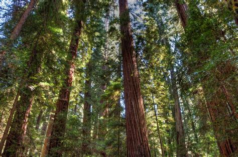Redwood Lighting by Redwoods Journeys In Light