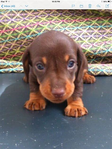 free dachshund puppies in miniature dachshund puppies free to a home breeds picture