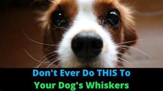 what do dogs whiskers do why do dogs whiskers 3 things you didn t whiskers do