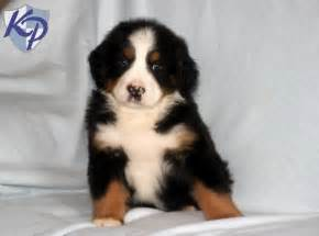 Bernese Mountain Dog Puppies For Sale In Pa » Home Design 2017