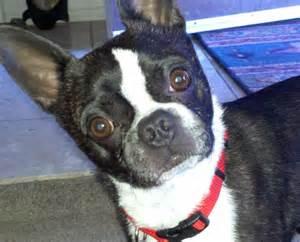 Boston Terrier Rescue Urgent Sonny The Boston Terrier And The Arizona Boston