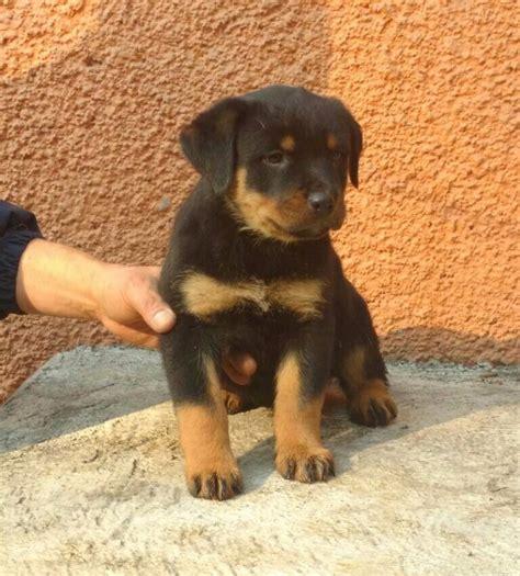 perro rottweiler precio cachorros rottweiler 7 500 00 en mercado libre