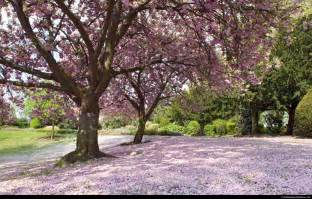 tree with pink flowers can it be saturday now pink flower tree