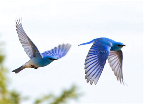 bird photography helping bluebirds nest tattoo love and