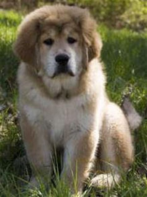 Do Mastiffs Shed by Everything Top Alaskan Malamute Breeds Picture