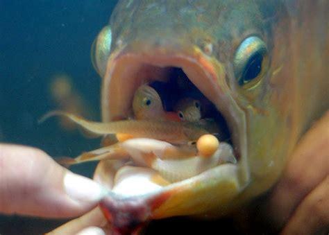 Pakan Udang Kecil cara pengembang biakan ikan arwana atau budidaya ikan