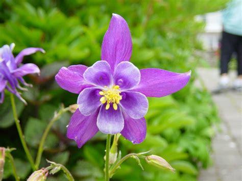 pictures of flowers dsc01798 triple star flower jpg