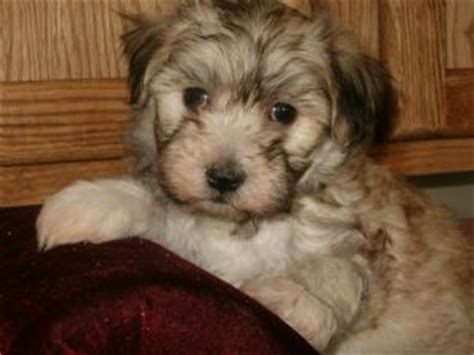 havanese puppies for sale in oregon heavenly havanese puppies for sale in corsica south dacota for sale puppies