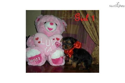 yorkies for sale in mcallen terrier yorkie puppy for sale near mcallen edinburg 418ee822 dd71