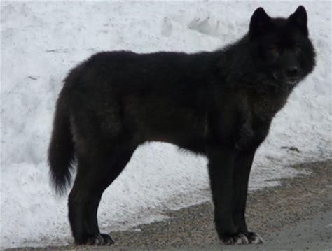 30 Feet In Meter alexander archipelago wolf canis lupus ligoni souls wiki