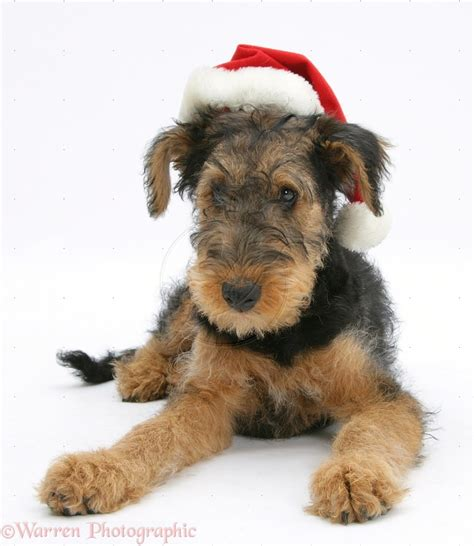 airedale terrier breed guide learn   airedale terrier