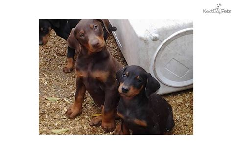 doberman puppies for sale in california miniature doberman pinscher for sale in california breeds picture