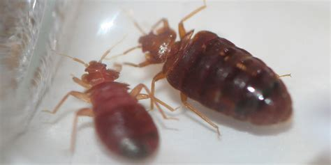 where can bed bugs live bed bugs bug z termite and pest control bug z termite