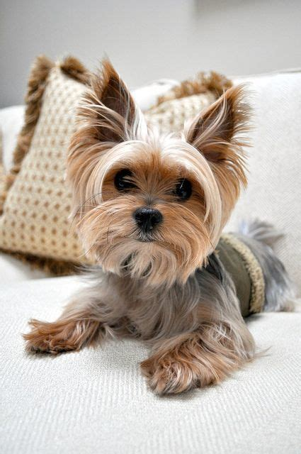 care of yorkies 50 damn yorkie haircuts for your puppy hairstylec