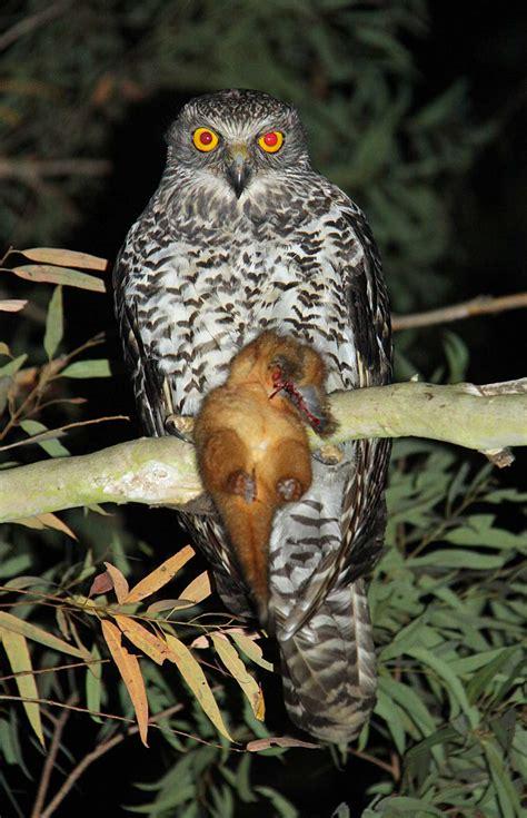 powerful owl ninox strenua with ringtailed possum