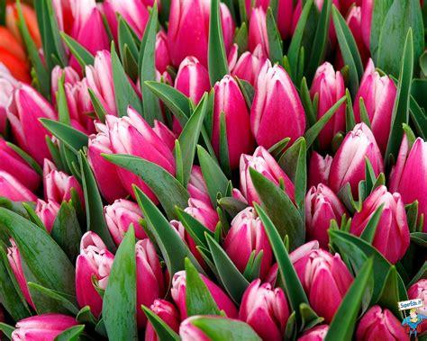 fiori tulipani tulipani pagina 6