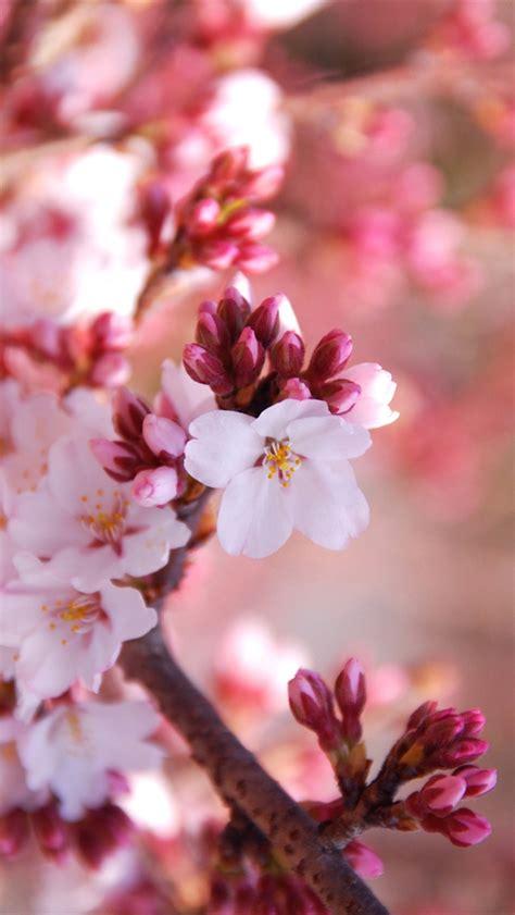 cherry flowers blossom season iphone  gs