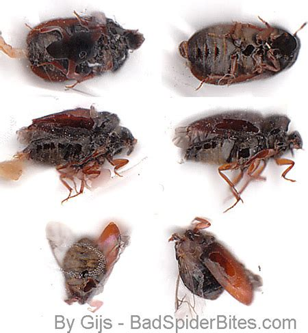 bed bug shoo bed bugs have wings 28 images bed bug wings pictures
