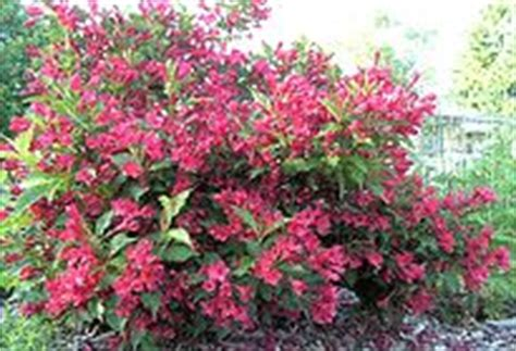 best flowering shrubs for partial sun 98 best images about bushes on trumpet