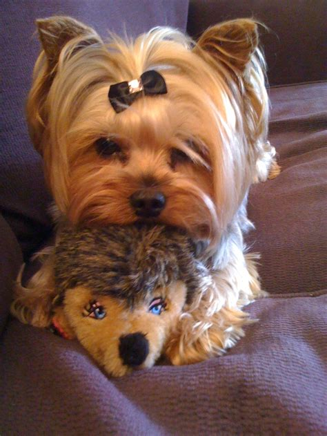 dogs like yorkies 158 best cutest yorkies images on fluffy pets cutest animals and adorable