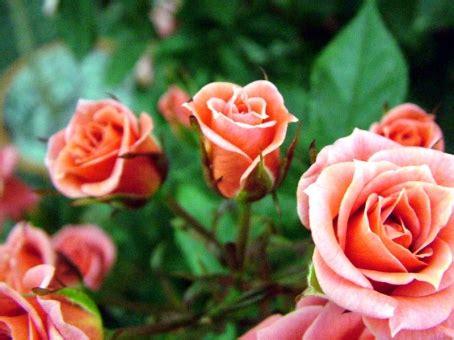 menanam mawar hidroponik tips mudah menanam bunga mawar dalam pot
