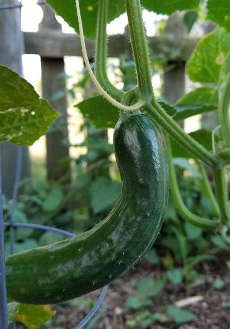 easy vegetable gardening  beginners