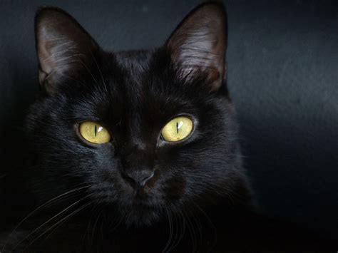 imágenes gato negro gatos negros taringa