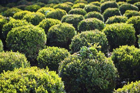 Buxbaum Vermehren by Buchsbaum Vermehren Stecklinge Nutzen Gartenpflanzen