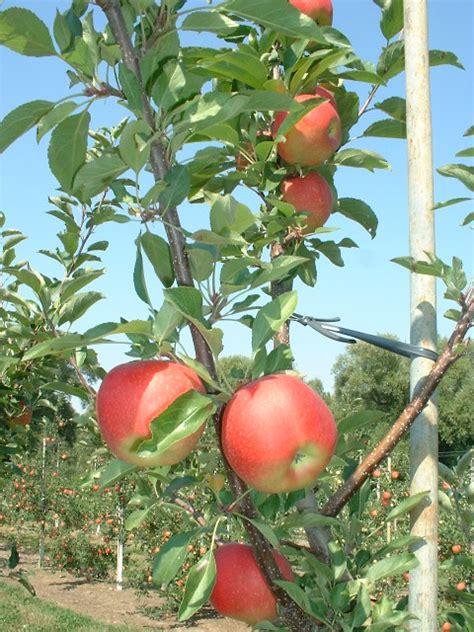fruit zone 7 top 28 zone 7 trees zone 7 evergreen tree varieties