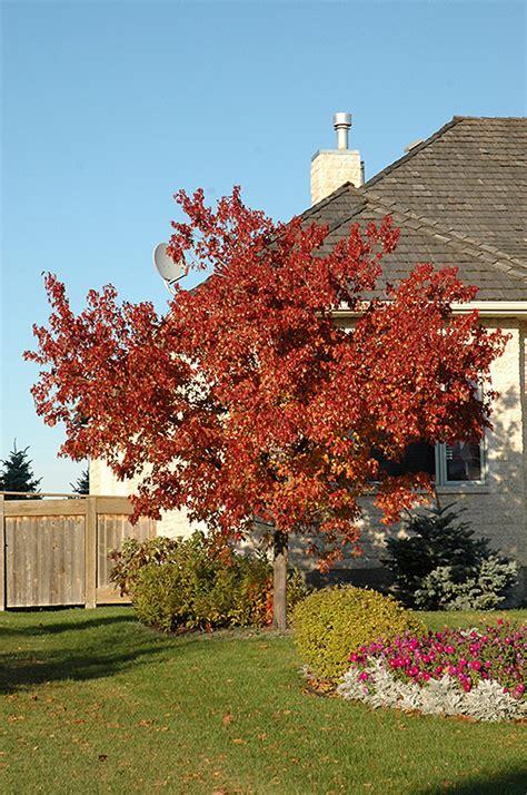 maple tree calgary tatarian maple acer tataricum in calgary alberta ab at spruce it up garden centre