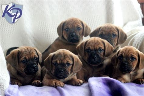 puggle puppies for sale in pa 29 best images about puggle puppies on i want and chs