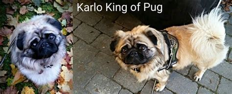 haired pug puppies the haired pug pug information center