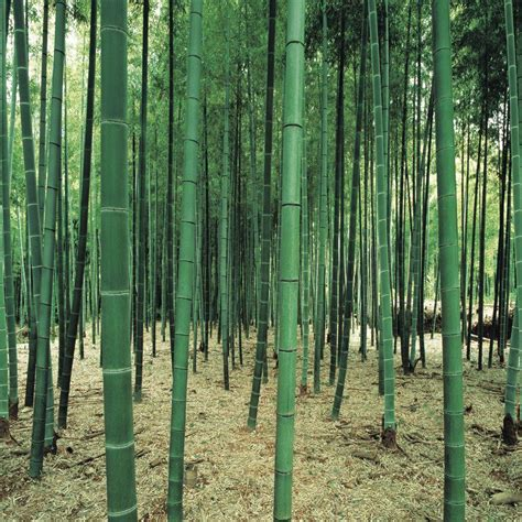 bamboo forest wall mural washington 150 in x 108 in bamboo forest wall mural ds8031 the home depot