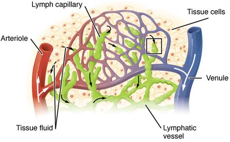 letto capillare lymphatic system