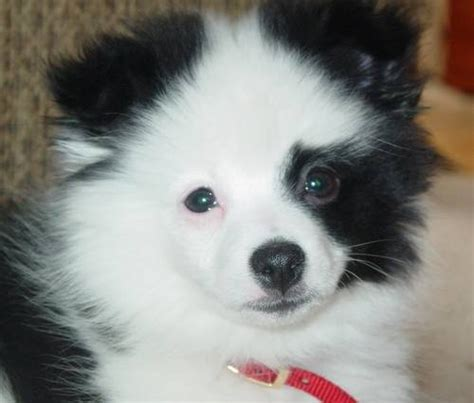 panda pomeranian photo of panda the pomeranian