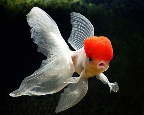 wallpaper goldfish gold fish wallpapers wallpaper cave