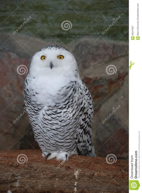 A Snowy Owl Papercraft Resting - snowy owl stock photo image 62247997