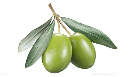Olive Nutrient Shoo Herbal olive leaf extract sources health benefits nutrients