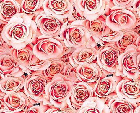 google pink roses light pink roses background blossoms tumblr branches