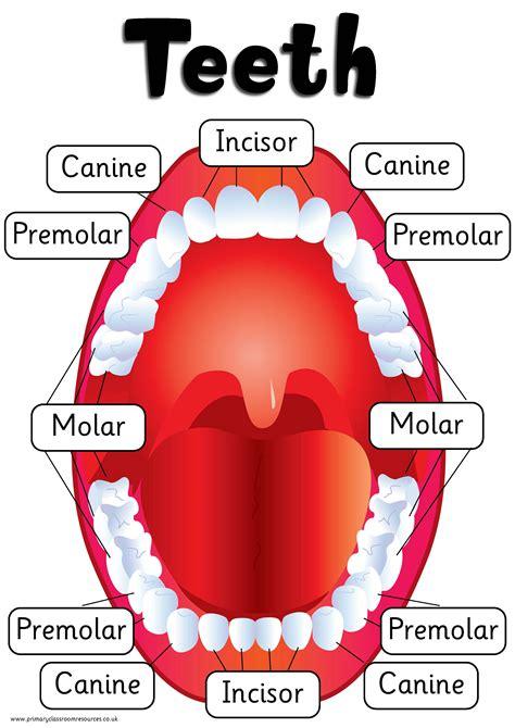diagram of types of teeth types of teeth poster digital dd pcr00459