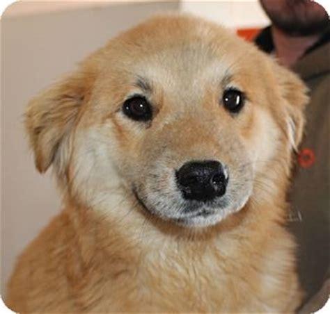 golden retriever puppies hagerstown md creme brulee adopted lm hagerstown md golden retriever spitz unknown