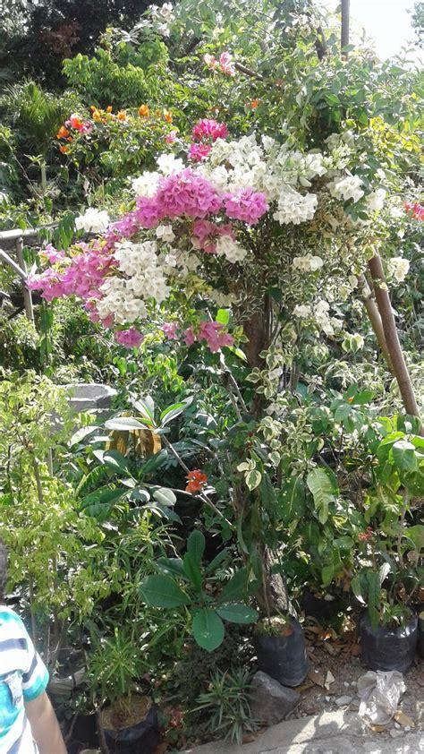 wallpaper bunga bougenvile foto bunga bougenville atau bunga kertas lima warna