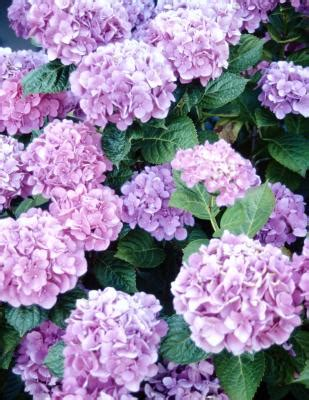 are hydrangeas poisonous to dogs is hydrangea poisonous to dogs care daily puppy