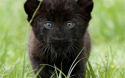 Black Panthers Also Search For Black Panthers Images Black Panthers Hd Wallpaper And Background Photos 31170208