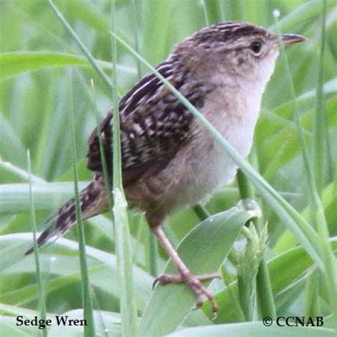 sedge wren north american birds birds of north america